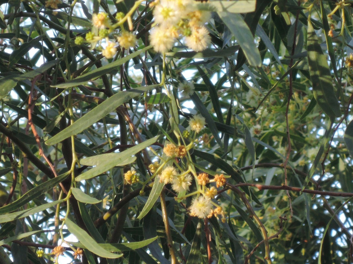 Wattle tree in bloom