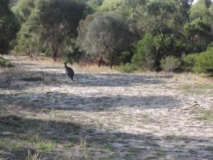 Kangaroo and joey (1)