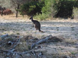 Kangaroo twitching ears