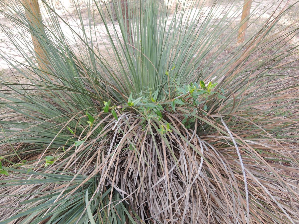 Grasstrees (xanthorrea)