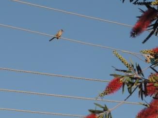 Wattlebird on a wire