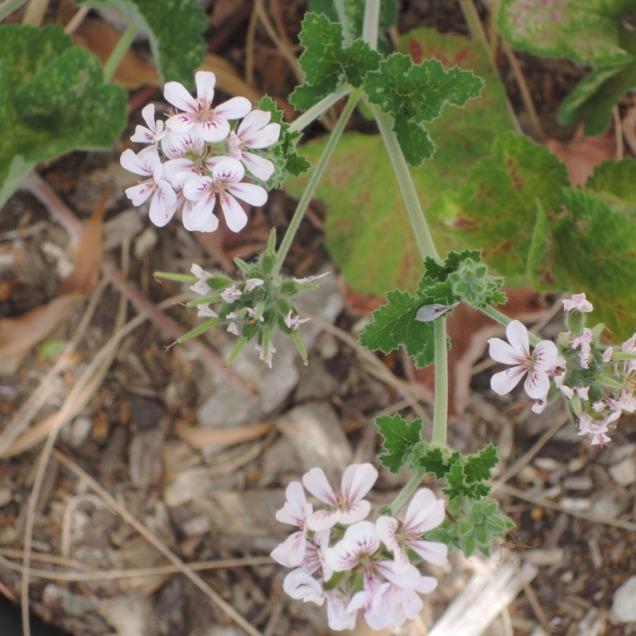 Native geranium (pelargonium australe)