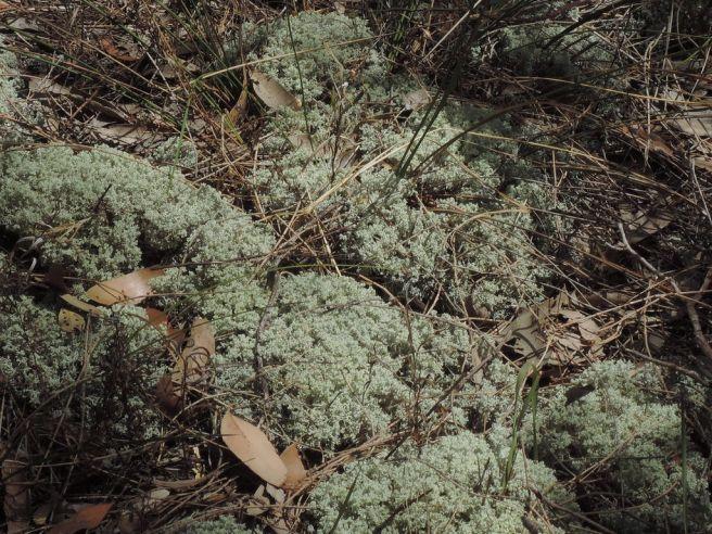 Lacy coral lichen
