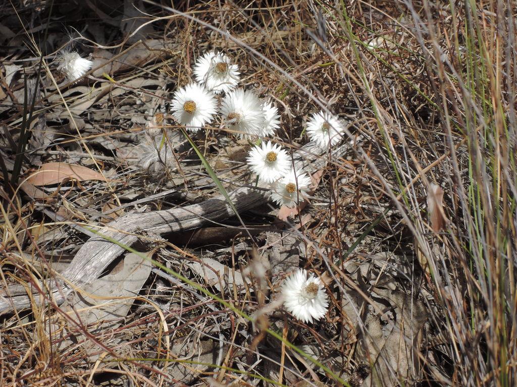 Helichrysum leucopsideum (Coast everlasting)