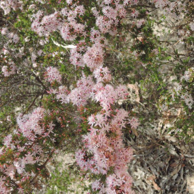 Calytrix tetragona (Common fringe myrtle)