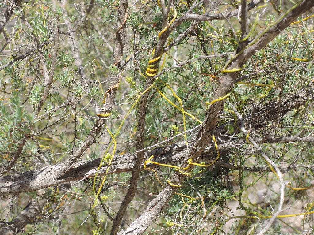 Cassytha pubescens (devil's twine)