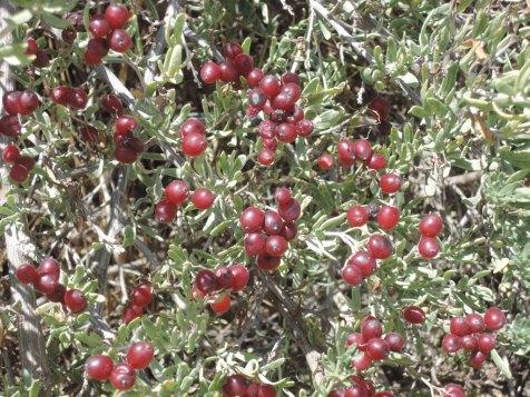 Nitre bush (Nitraria billardiera)