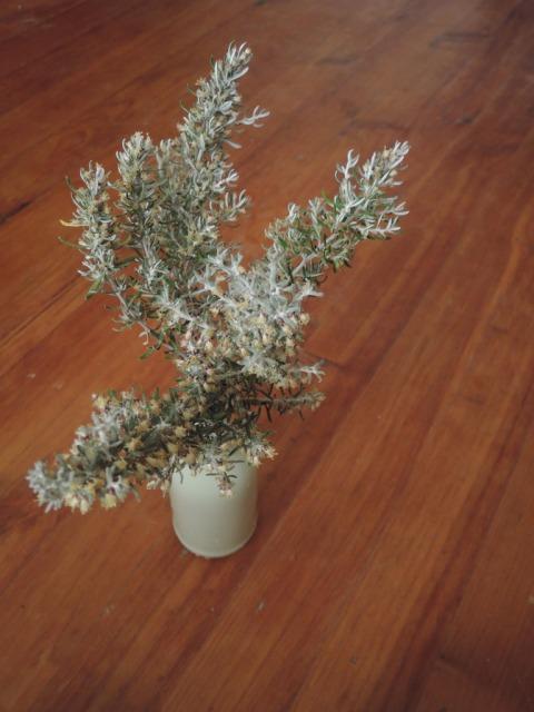 Olearia axillaris (coastal daisy bush)
