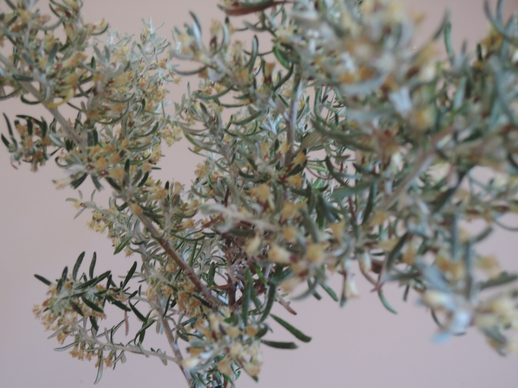 Also known as coastal rosemary (though not so edible) ...