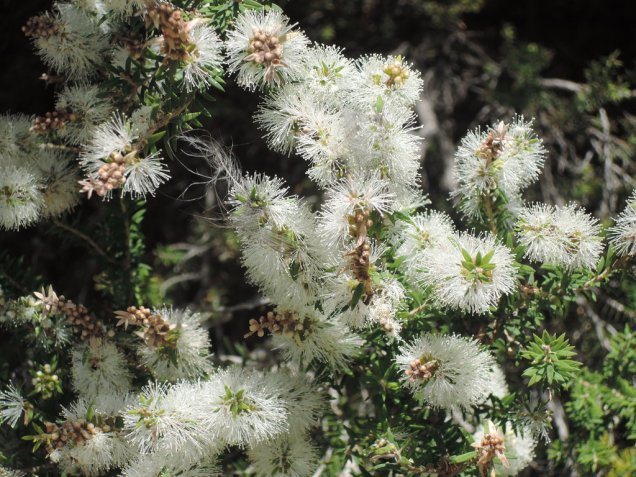 Melaleuca lanceolata (black tea-tree)