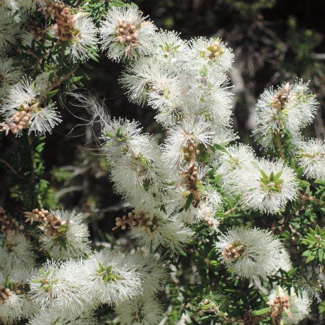Melaleuca lanceolata (black tea-tree)
