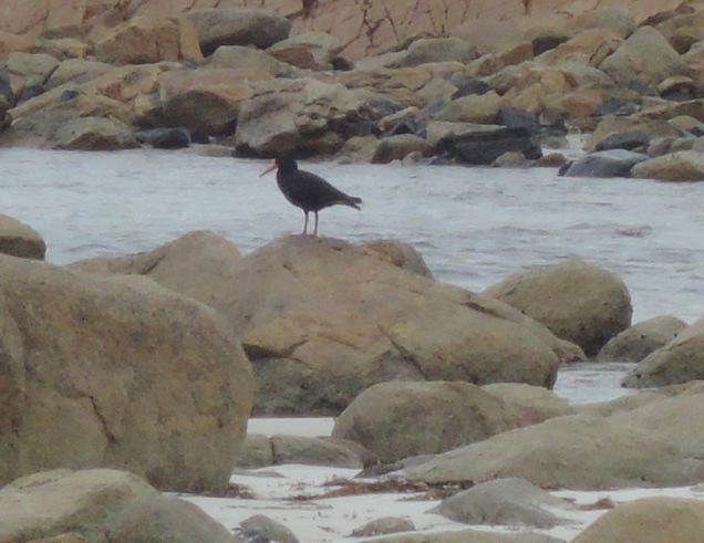 Lone sooty oystercatcher at Yorke Peninsula
