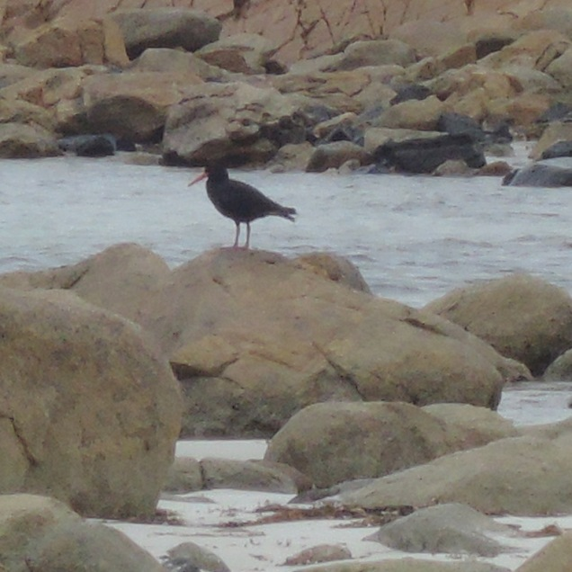 Lone sooty oystercatcher at Yorke Peninsula