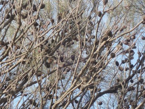 Female (cones)