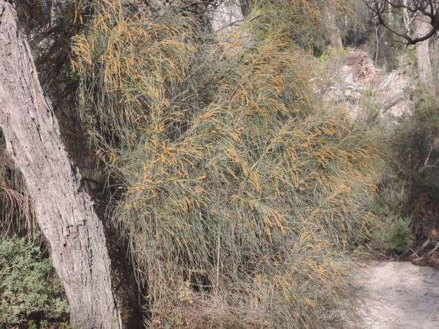 Male (golden flowers)