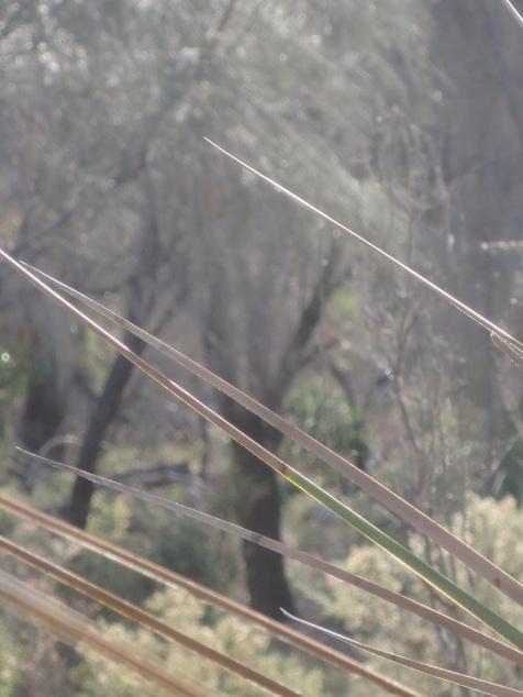Peeking between the spikes of a grasstree ...