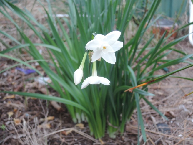 The first jonquils