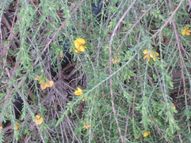 Bush peas (pultenaea species)
