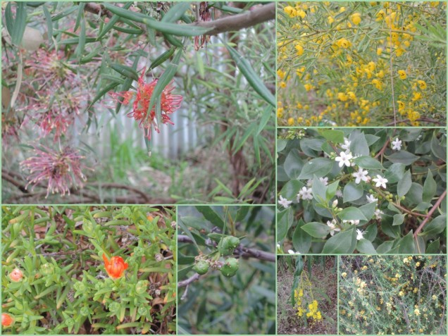 Late winter in the garden at Taperoo 15 August 2015 1.30 pm