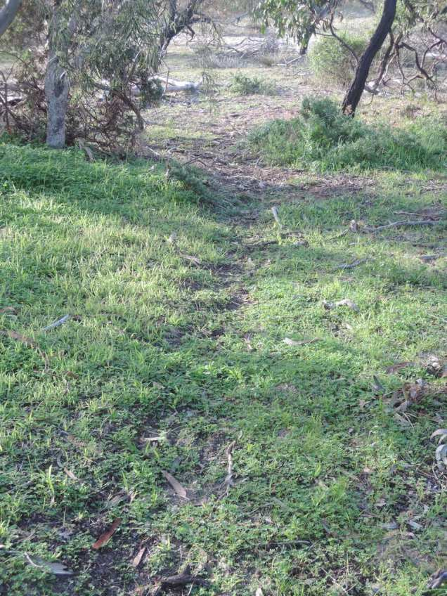 Kangaroo path through the scrub