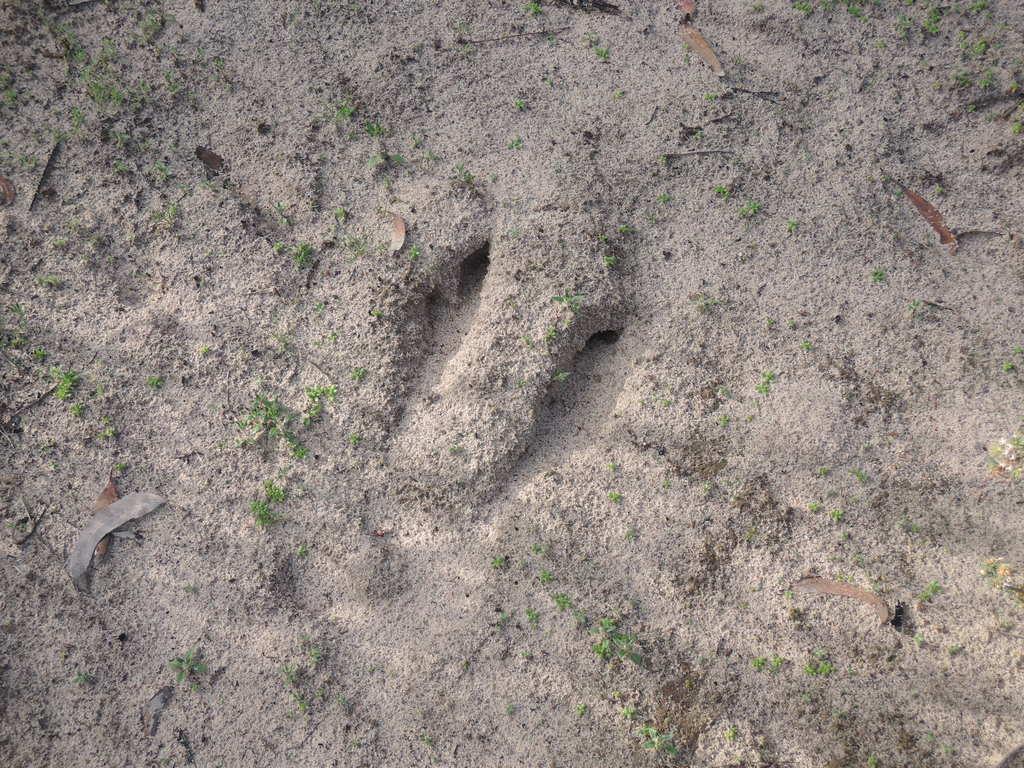Kangaroo footprint near the entrance to the Scrub