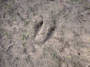 Kangaroo footprint