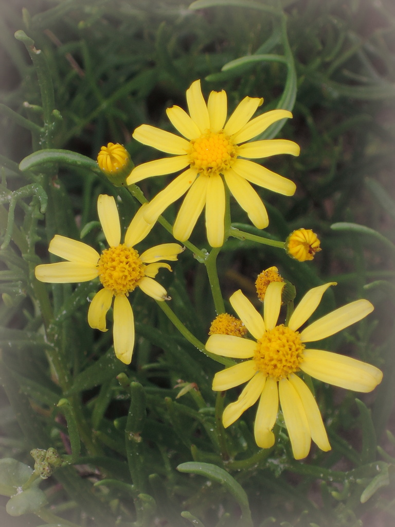 Variable groundsel on the dunes at Taperoo 19 July 2014 3.06 pm