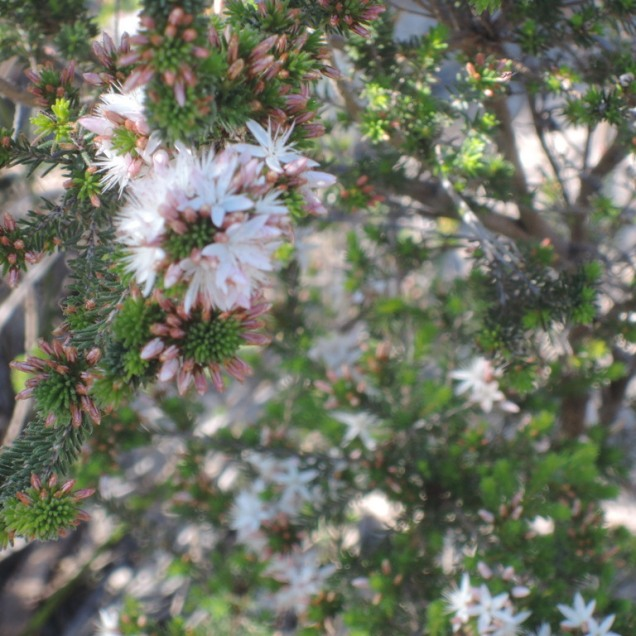 Common fringe-myrtle (calytrix tetragona)