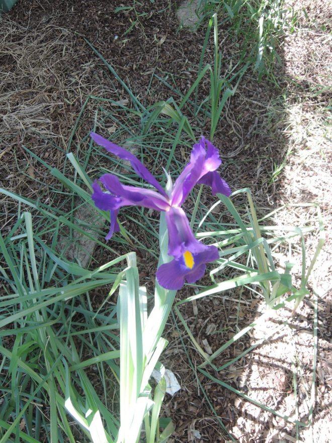 The lone iris in my garden 9 September 2015