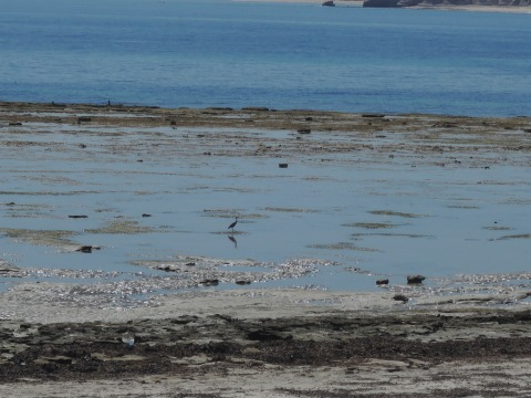 Grey heron standing in a rockpool 22 March 2016 12.12 pm