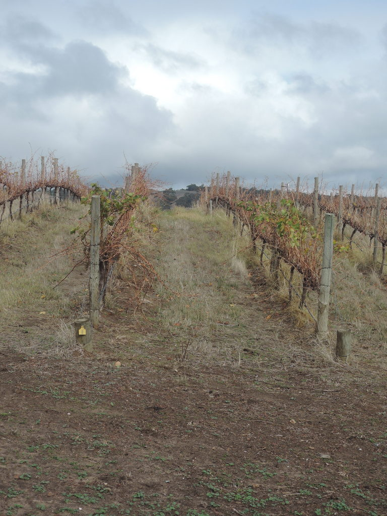 Late autumn in the vineyards 4 May 2016 1.35 pm