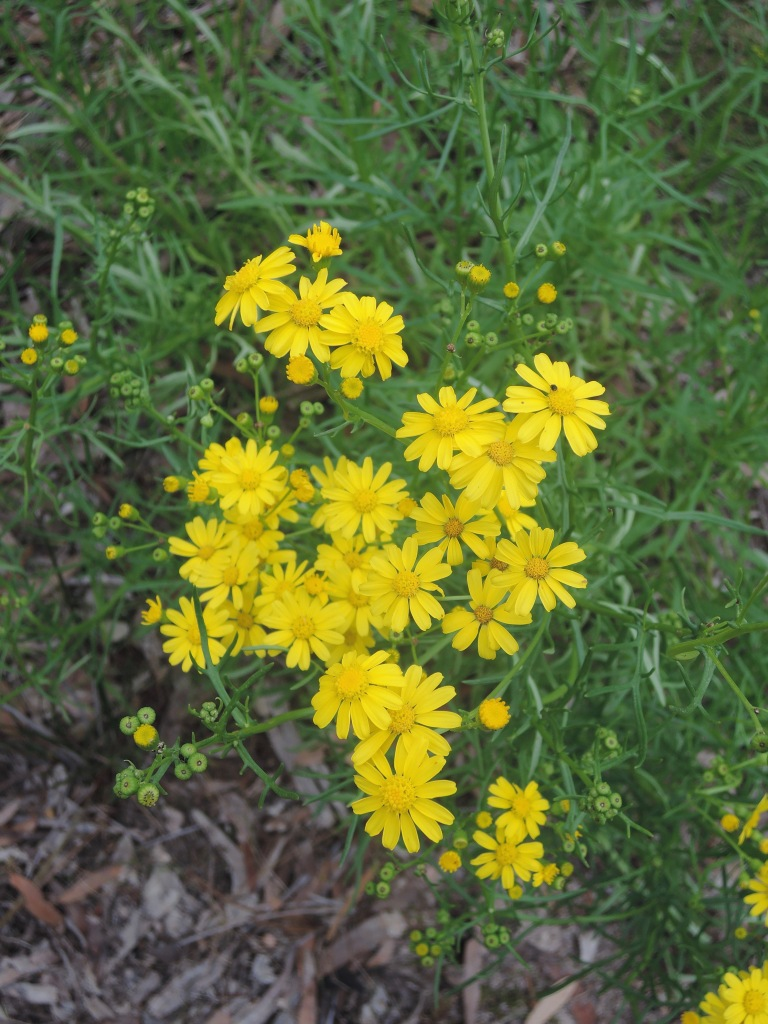 Variable groundsel (senecio lotus)