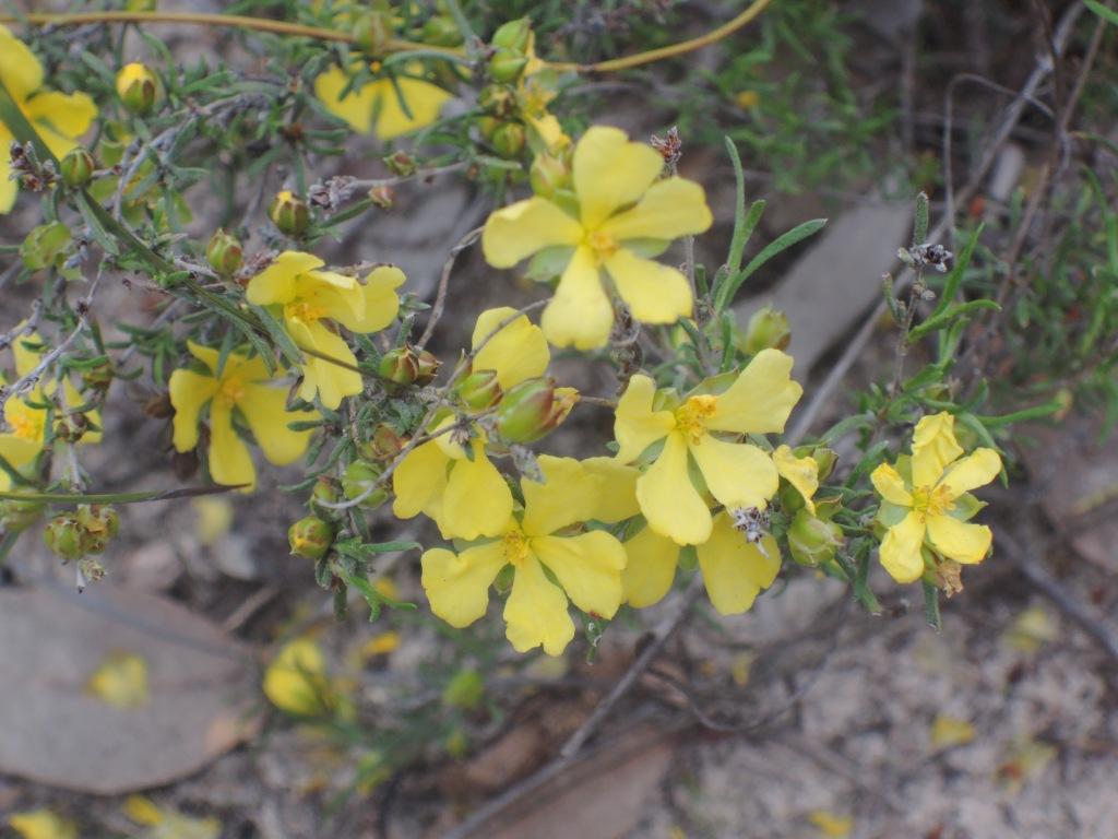 Guinea flower (hibbertia)