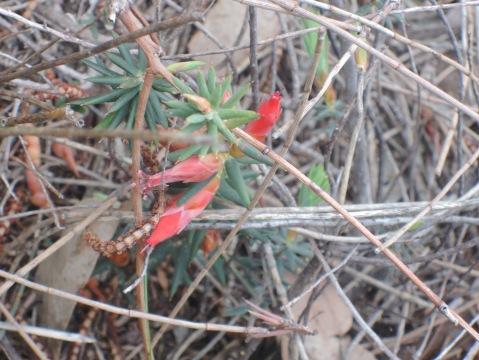 Flame heath (astraloma conostephioides)