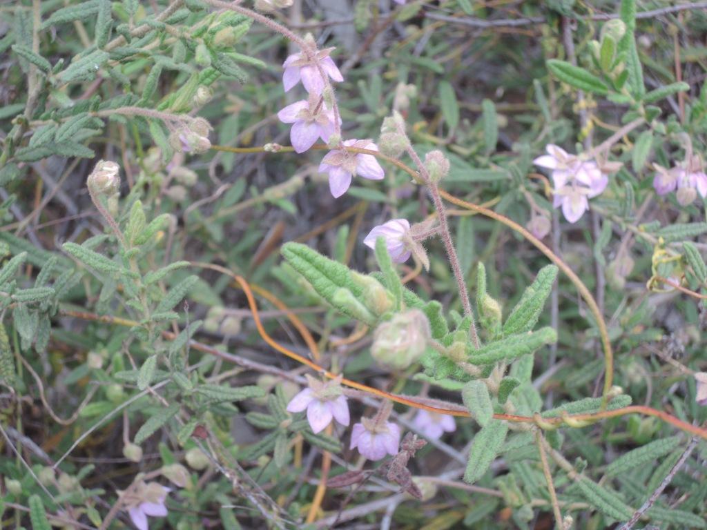 Paper-flower (thomasia petalocalyx)