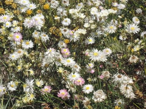 Kings Park: more wildflowers