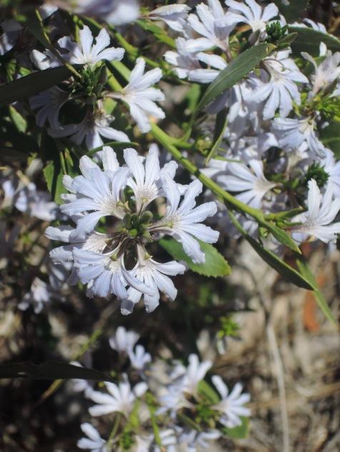 fan-flower-2