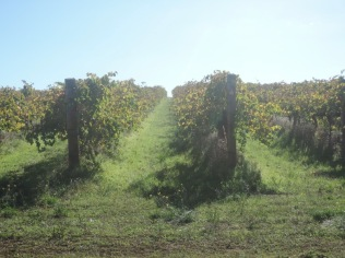 The different shades of autumn in the vineyard (Branson Road)