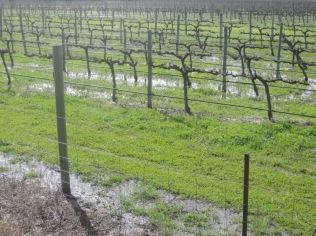 Rain in the vineyards