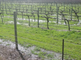 Rain in the vineyards