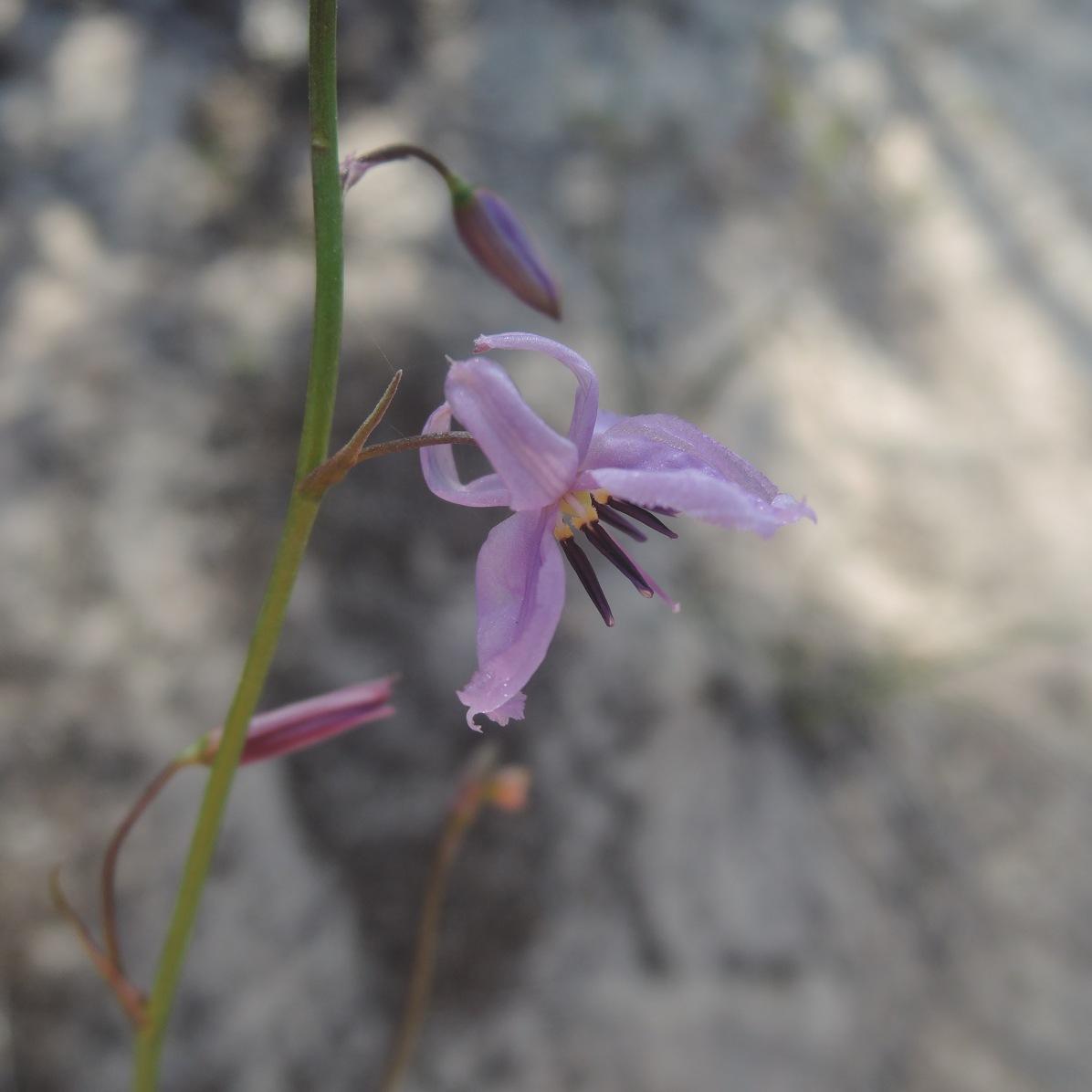 Vanilla lily