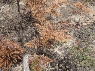Bracken fern die-off (1)